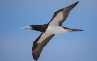 Brown Booby in flight - By Andreas Trepte
