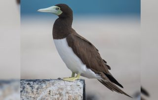 Brown Booby By Andreas Trepte